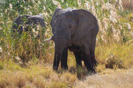African Elephant, Loxodonta Africana in Etosha National Park in Namibia