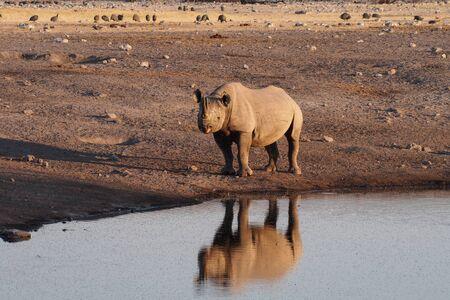 Black Rhinoceros, Diceros bicornis in Etosha National Park, Namibia in Africa