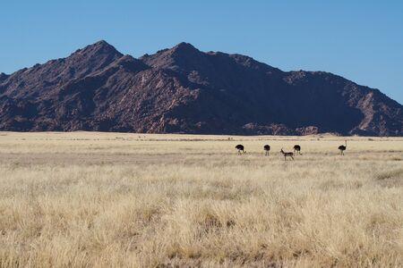 African Ostrich, Struthio camelus in Sossusvlei. Namib Naukluft National Park, Namibia. Africa