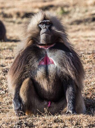 Gelada Baboon Theropithecus Gelada . Simien Mountains National Park. Geladas are great primates living in Ethiopia only. Africa. Reklamní fotografie