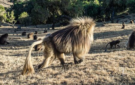 Gelada Baboon Theropithecus Gelada . Simien Mountains National Park. Geladas are great primates living in Ethiopia only. Africa. Stockfoto