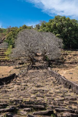 Plumeria flower trees at the ruins of the Vat Phou Khmer temple Stockfoto