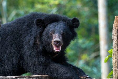 A black bear in animal conservation, Tat Kuang Si waterfalls, Luang Prabang, Laos in Asia Banco de Imagens - 128600490