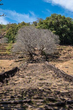 Plumeria flower trees at the ruins of the Vat Phou Khmer temple Banco de Imagens