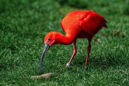 The Scarlet ibis, Eudocimus ruber is a species of ibis in the bird family Threskiornithidae. It inhabits tropical South America and islands of the Caribbean. 写真素材