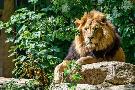 The lion, Panthera leo is one of the four big cats in the genus Panthera and a member of the family Felidae. 写真素材