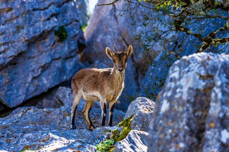 A Spanish Ibex in the Karst landscape of El Torcal near to Antequera, Malaga, Spain
