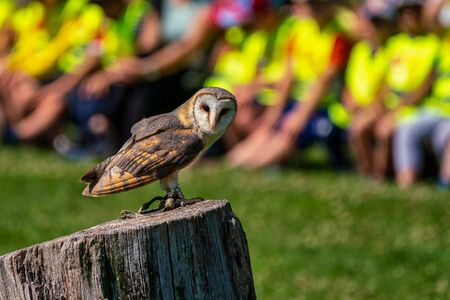 The western barn owl, Tyto alba is usually considered a subspecies group and together with the American barn owl group, the eastern barn owl group