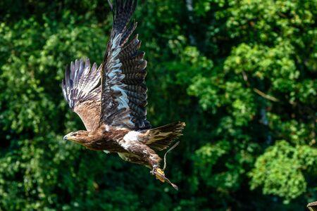 The Harriss hawk, Parabuteo unicinctus formerly known as the bay-winged hawk or dusky hawk, is a medium-large bird of prey