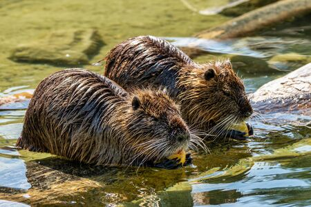 Coypu, Myocastor coypus, also known as river rat or nutria, is a large, herbivorous, semiaquatic rodent and only member of family Myocastoridae.