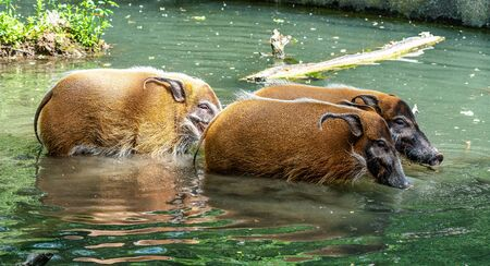 Red river hog, Potamochoerus porcus, also known as the bush pig. This pig has an acute sense of smell to locate food underground. Stock Photo