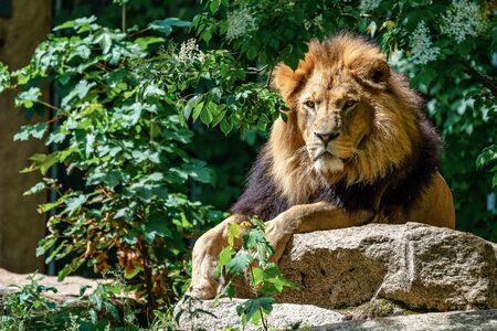 The lion, Panthera leo is one of the four big cats in the genus Panthera and a member of the family Felidae. Stockfoto