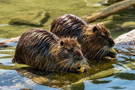 Coipo, Myocastor coypus, también conocido como rata de río o nutria, es un roedor grande, herbívoro, semiacuático y único miembro de la familia Myocastoridae.