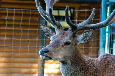 Roe Deer, Capreolus capreolus. Except for Central and Sound Europe lives mostly in Germany, France, United Kingdom, Spain, Italy, Russia and Benelux countries.