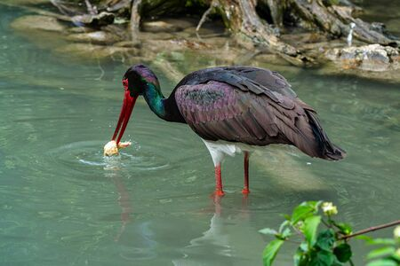 The Black stork, Ciconia nigra is a large bird in the stork family Ciconiidae. Stock Photo