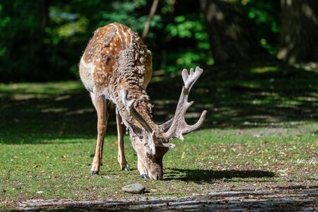 The fallow deer, Dama mesopotamica is a ruminant mammal belonging to the family Cervidae. Stock Photo
