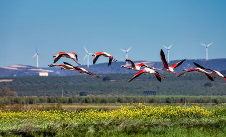 Greater Flamingos, Phoenicopterus roseus in the wetlands of Campillos lagoons in Malaga, Andalusia, Spain. Some of the most beautiful birds on the planet gather here near the Laguna de Fuente de Piedra 스톡 콘텐츠