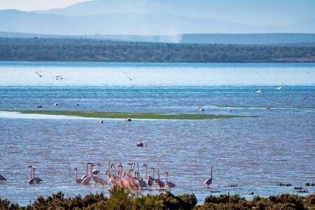 Greater Flamingos, Phoenicopterus roseus in Lagoon Fuente de Piedra, Andalusia, Spain. Some of the most beautiful birds on the planet gather in the Laguna de Fuente de Piedra