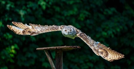 Eurasian Eagle Owl, Bubo bubo in a german nature park 写真素材 - 131956573