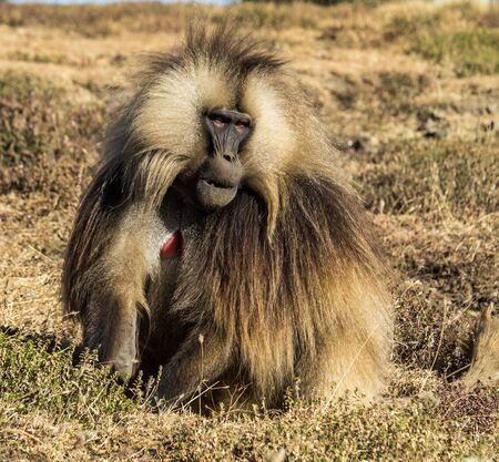 Gelada Baboon - Theropithecus Gelada. Simien Mountains in Ethiopia Stockfoto