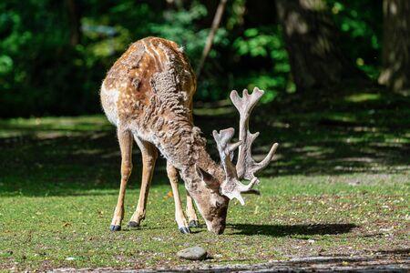 The fallow deer, Dama mesopotamica is a ruminant mammal Reklamní fotografie - 131447671