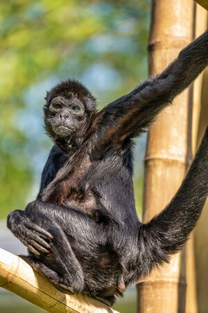 The black-headed spider monkey, Ateles fusciceps is a species of spider monkey Stok Fotoğraf