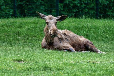 European Moose, Alces alces, also known as the elk