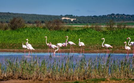 Greater Flamingos in wetlands of Campillos lagoons in Malaga. Spain. Stockfoto