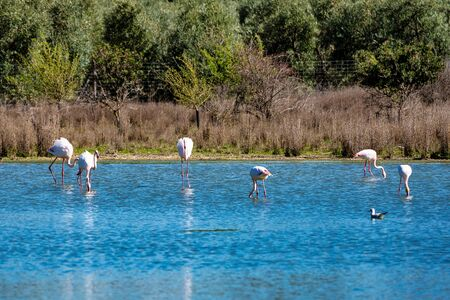 Greater Flamingos in Lagoon Fuente de Piedra, Andalusia, Spain Stockfoto