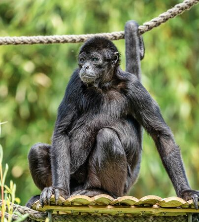 The black-headed spider monkey, Ateles fusciceps is a species of spider monkey Stockfoto