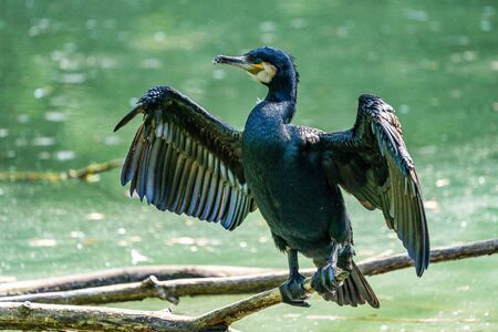 The great cormorant, Phalacrocorax carbo sitting on a branch Stockfoto
