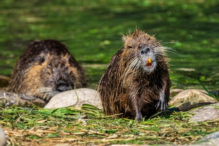 Coypu, Myocastor coypus, also known as river rat or nutria