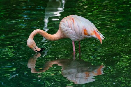 The American flamingo, Phoenicopterus ruber is a large species of flamingo Stockfoto