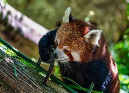 The red panda, Ailurus fulgens, also called the lesser panda. Stockfoto