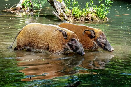 Red river hog, Potamochoerus porcus, also known as the bush pig. Stockfoto - 132222162
