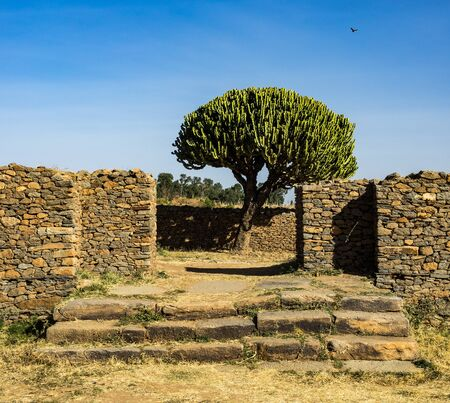 candelabra tree around historical city Aksum - Ethiopia, Africa Stockfoto