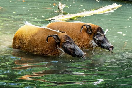 Red river hog, Potamochoerus porcus, also known as the bush pig.