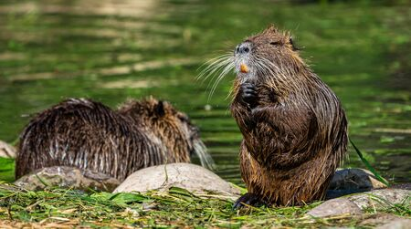 Coypu, Myocastor coypus, also known as river rat or nutria Stockfoto - 136753452