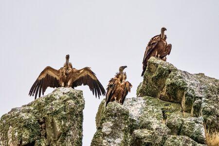 Griffon vultures, Gyps fulvus flying around Salto del Gitano in Monfrague National Park. Caceres, Extremadura, Spain. Foto de archivo