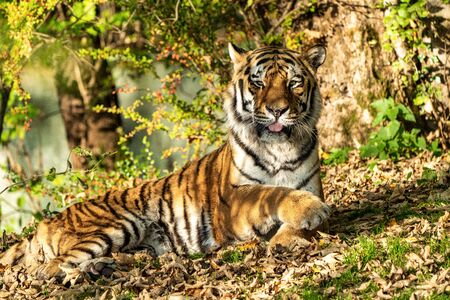 The Siberian tiger,Panthera tigris altaica is the biggest cat in the world Banque d'images - 137572319