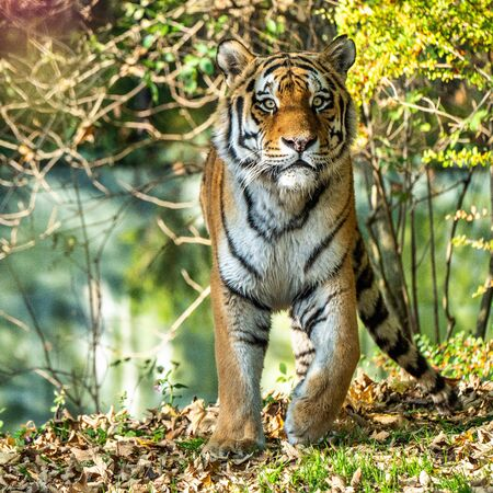 The Siberian tiger,Panthera tigris altaica is the biggest cat in the world Banque d'images - 137571483