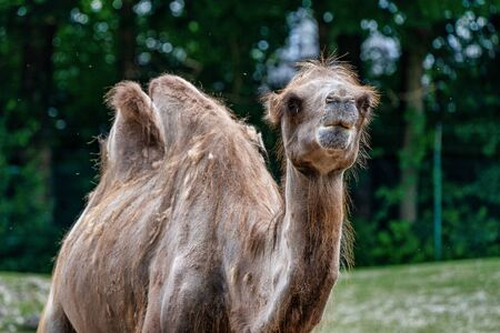 The Bactrian camels, Camelus bactrianus is a large, even-toed ungulate native to the steppes of Central Asia. The Bactrian camel has two humps on its back Фото со стока
