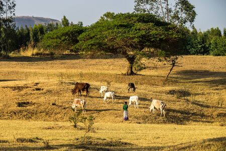 Brahman or Zebu bulls near the Blue Nile falls, Tis-Isat in Ethiopia