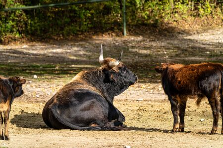 Heck cattle, Bos primigenius taurus, claimed to resemble the extinct aurochs. Stock Photo