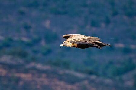 Griffon vulture, Gyps fulvus flying around Salto del Gitano in Monfrague National Park. Caceres, Extremadura, Spain. Foto de archivo