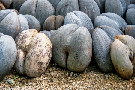 Coco de Mer, Lodoicea Maldivica wächst im Fond Ferdinand Park, Insel Praslin, Seychellen?
