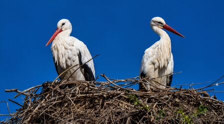 White Stork, Ciconia ciconia in Jerez de la Frontera, Andalusia in Spain Stok Fotoğraf
