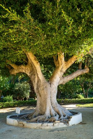 Beautiful green genoves public park, path with unusual shapes and designs trees in one of oldest city in Europe, Cadiz, Andalusia, Spain