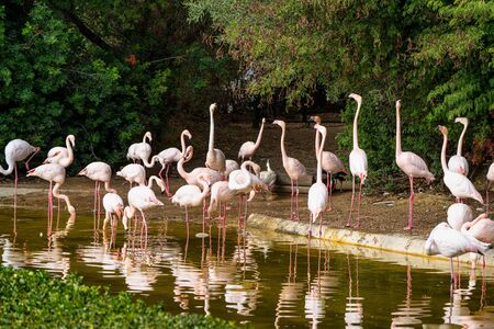 Caribbean flamingo, Phoenicopterus roseus in Jerez de la Frontera, Andalusia in Spain Stok Fotoğraf