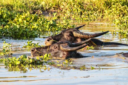 Southeast Asian Buffalo that likes to lie down, soak in the water. Seen in Pegu, Myanmar